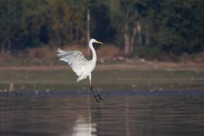 Free Great Egret/Ardea Alba/. Stock Photos - 36546333