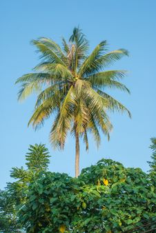 Free Coconut Tree Royalty Free Stock Image - 36549026