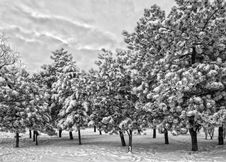 Free Snow Covered Trees Stock Photography - 36549812