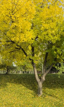 Free Yellow Tree Stock Photography - 36549912