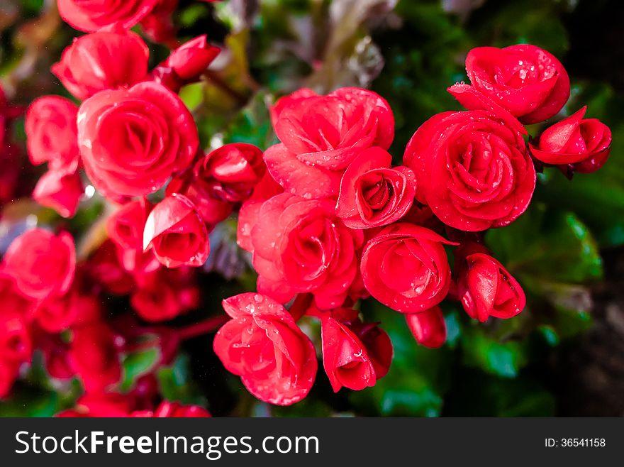 Red big begonia