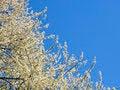 Free Blossom Cherry Spring Tree Stock Photo - 36559860
