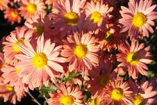 Free Light Orange Chrysanthemums Royalty Free Stock Images - 36550159
