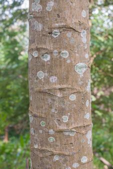 Free Papaya Tree Bark Stock Photo - 36552350