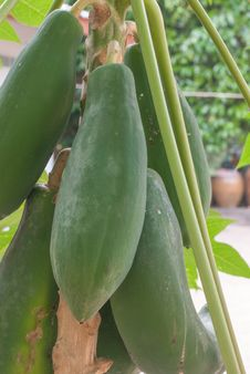 Free Papaya Tree Royalty Free Stock Photo - 36552495
