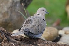 Free Wood Pigeon Royalty Free Stock Images - 36555019