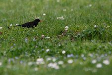 Free Common Blackbird Royalty Free Stock Photography - 36555077