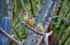 Free Three Star Finches Stock Photography - 36555452