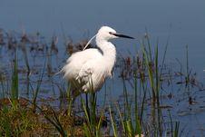 Free Little Egret Royalty Free Stock Photography - 36556057