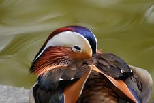 Free Mandarin Duck Royalty Free Stock Photos - 36556148