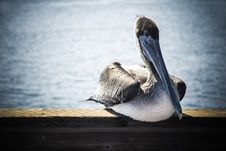 Free Relaxing Pelican Royalty Free Stock Photos - 36558268