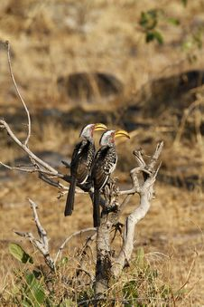 Breeding Pair Of Southern Yellow-billed Hornbills Royalty Free Stock Images