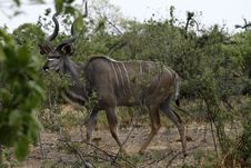 Free Greater Kudu Bull Royalty Free Stock Photos - 36559488