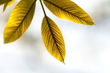 Young Leaves Of The Walnut Tree Stock Photo