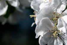 Free Drop Of Water Flower Apple Macro Royalty Free Stock Image - 36559756