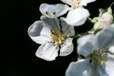 Free Background Flower Apple Royalty Free Stock Images - 36559799
