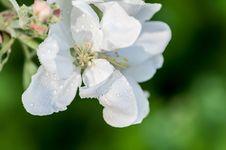 Free Drop Of Water Flower Apple Macro Stock Photography - 36559802