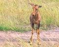 Free Little Antelope Topi Royalty Free Stock Photo - 36568885