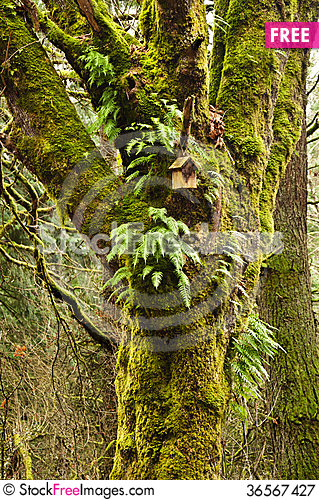 Free Mossy Tree In Forest With Birdhouse And Ferns Royalty Free Stock Photography - 36567427