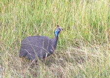 Helmeted Guineafowl &x28;Numida Meleagris&x29; Stock Photography