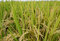 Free Paddy Rice. Stock Image - 36569531