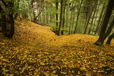 Free Beech Forest Royalty Free Stock Photo - 36575185