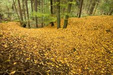 Free Beech Forest Stock Images - 36575224