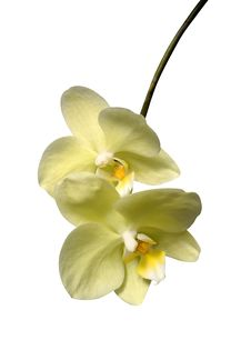 Free Orchids Flowers Stock Photography - 36579892
