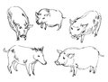 Free Vietnamese Pig. Wild Boar Royalty Free Stock Photography - 36588197