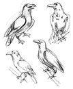Free Common Raven Stock Photo - 36588640