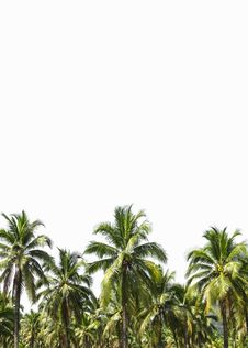 Free Coconut Plantation Is Isolated On White Royalty Free Stock Photography - 36581497