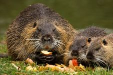 Free Family Nutria Stock Images - 36582344
