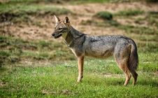 Free Wild Indian Jackal Stock Image - 36584261