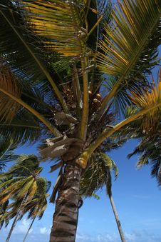 Free Palm Trees With Coconuts Stock Photo - 36585130