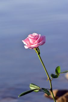 Free Rose And Water Stock Photo - 36588200