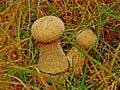 Free Lycoperdon Perlatum Royalty Free Stock Images - 36593019