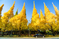 Free Ginkgo Trees Against Blue Sky, View From Street Royalty Free Stock Photography - 36597767