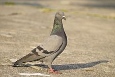 Free Pigeon In Park Stock Photos - 36596723