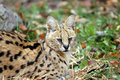Free Serval Stock Photography - 3660342