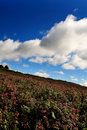 Free Flower Field Over Blue Sky Royalty Free Stock Photography - 3663627