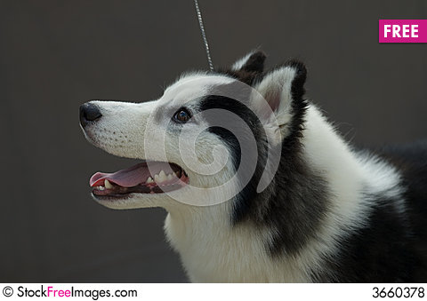 Free Piebald Siberian Husky Royalty Free Stock Photos - 3660378