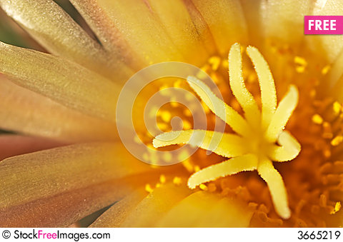 Free Dark Yellow Blossom Royalty Free Stock Images - 3665219