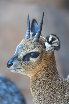 Kirks Dik Dik Royalty Free Stock Photo