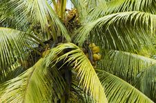 Free Coconut Plant Detail Royalty Free Stock Photos - 3661318