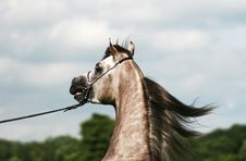 Free Arabian Horse And Wind Royalty Free Stock Photography - 3662117