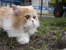 Free Pedigree Persian Cream Cat Outdoors In Sity Stock Images - 3662144