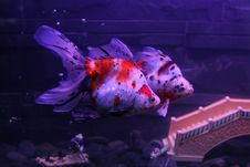 Aquarium FishS Royalty Free Stock Photography