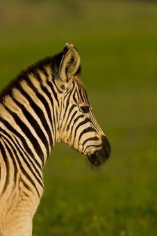 Free Zebra Foal Royalty Free Stock Photography - 3662717