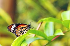 Free Butterfly Like A Queen Royalty Free Stock Photo - 3663725