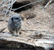 Free Curious Meerkat Stock Images - 3664484